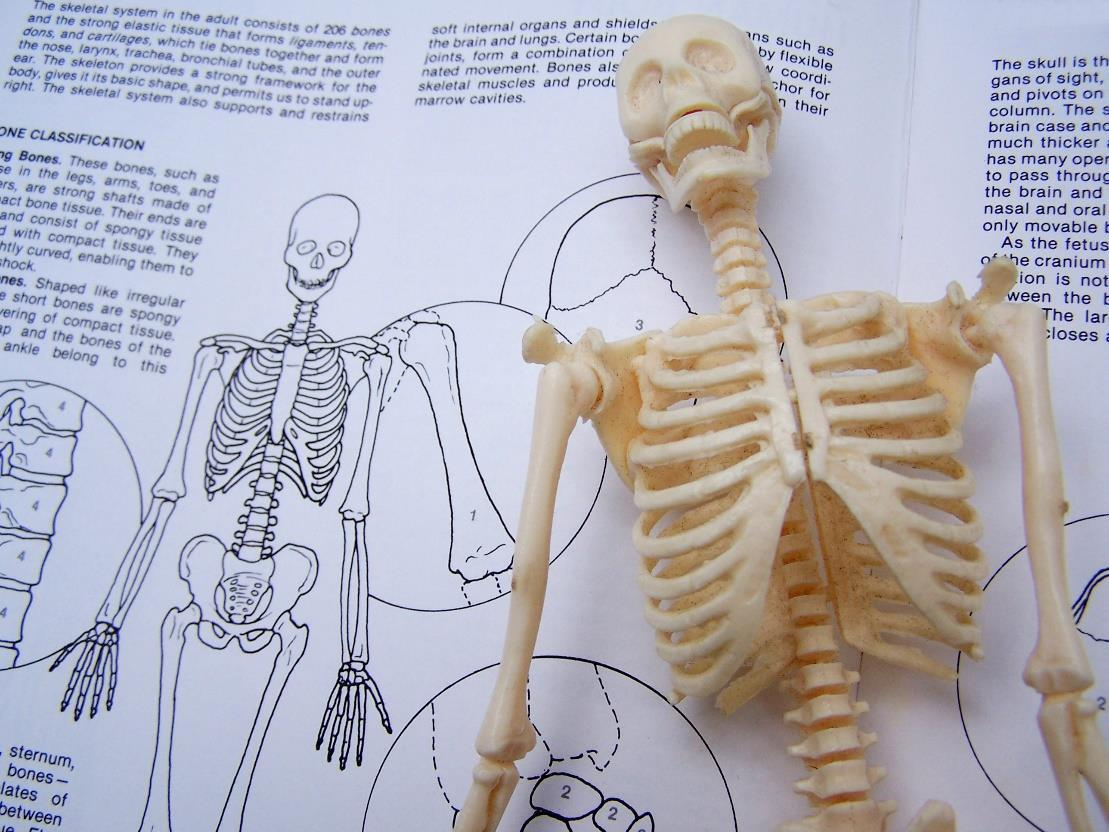 an illustration of the skeleton